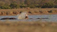 Hippos throwing water in air - Super Slow Motion Stock Footage