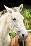 White mare Stock Photos