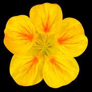Yellow nasturtium flower Isolated on Black - stock photo