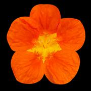 Orange nasturtium flower Isolated on Black - stock photo