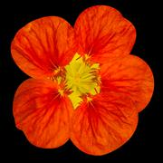 Red nasturtium flower Isolated on Black - stock photo