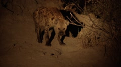 Hyena Guarding her Den Stock Footage