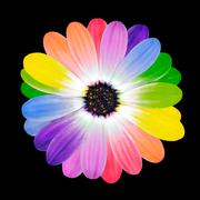 Colorful Petals on Daisy Flower Isolated - stock photo