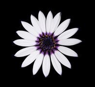 Osteospermum Asti White Daisy with purple center on Black - stock photo