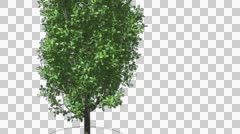 Cypress Oak Chromakey Isolated Tree Chroma Key Alfa Alfa Channel Green Branches Stock Footage