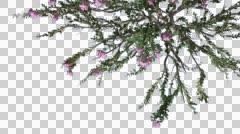 Crape Myrtle Chromakey Isolated Bush Chroma Key Alfa Alfa Channel Top Down Stock Footage