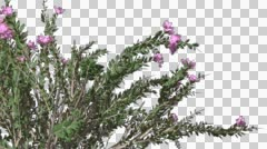 Crape Myrtle Chromakey Isolated Bush Chroma Key Alfa Alfa Channel Violet - stock footage