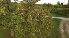 Ripe apples ready for harvest Stock Footage