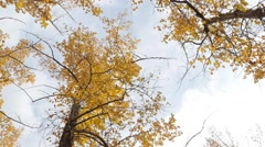 Leaves fall in slowmotion from the tree tops in autumn. Stock Footage