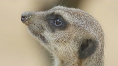 Meerkat looking out for danger and ready to signal an alarm Stock Footage