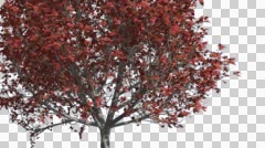 Bradford Pear Chromakey Isolated Tree Chroma Key Alfa Alfa Channel Tree Trunk Stock Footage