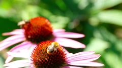 Bumblebee on a Echinacea flower - stock footage