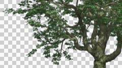 Big Leaf Maple Chromakey Isolated Tree Chroma Key Alfa Alfa Channel Tree Trunk - stock footage