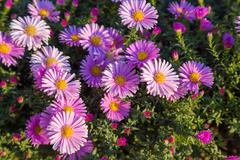 Magenta asters flowerbed Stock Photos
