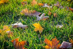 Maple fallen leaves on green grass Stock Photos