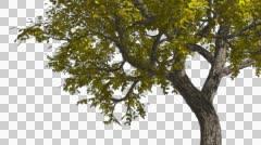 Amur Cork Chromakey Isolated Tree Chroma Key Alfa Alfa Channel Tree Trunk - stock footage