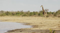 Giraffe by water hole Stock Footage