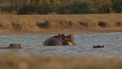 Hippo's playing at twilight - Slow Motion Stock Footage