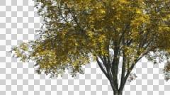 American Elm Chromakey Isolated Tree Chroma Key Alfa Alfa Channel Tree Trunk - stock footage