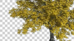 American Elm Chromakey Isolated Tree Chroma Key Alfa Alfa Channel Tree Trunk Stock Footage