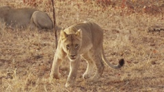 Lioness Walking Early Morning Stock Footage
