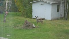 Wild Young White Tail Deer Back Yard Hand Held Through Window Slow Motion Stock Footage