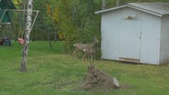 Wild White Tail Deer Baby & Mother In Back Yard Garden Grass Grazing Hand Held Stock Footage