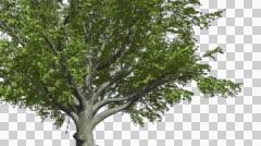 American Beech Chromakey Isolated Tree Chroma Key Alfa Alfa Channel Tree Trunk Stock Footage