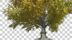 American Beech Chromakey Isolated Tree Chroma Key Alfa Alfa Channel Tree Trunk - stock footage