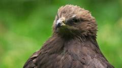 Lesser Spotted Eagle -Aquila pomarina Stock Footage