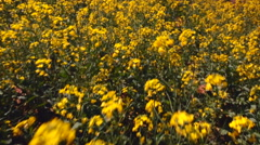 Close-up tracking shot over the bright yellow flowers of the canol Stock Footage
