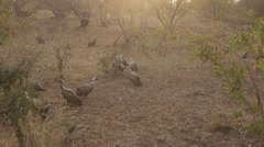 Hyena Chasing Vultures - Slow Motion Stock Footage