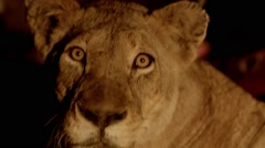 Lion Looks at Camera Night Stock Footage