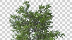 European Linden Chromakey Crown Isolated Tree Chroma Key Alfa Alfa Channel - stock footage