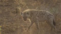 Hyena walking in bush - Sun Flare Stock Footage