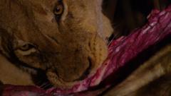 Lion Eating Kill During Night - Close Up - Slow Motion (2) Stock Footage