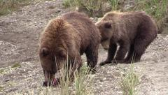 Grizzly bear sow leaves food for cubs Stock Footage