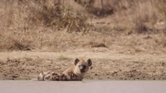 Hyena having a Bath and Cooling Down Stock Footage