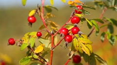 Ripe rosehips - stock footage