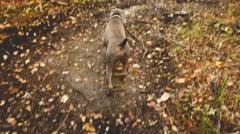 Weimaraner runs away down autumn path. Stock Footage