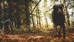 Weimraner dog runs through autumn trail. Stock Footage