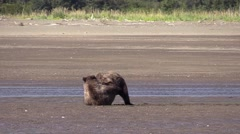 Grizzly bear cubs play fight in the ocean near the beach Stock Footage