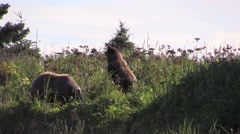 Bears in the grass Stock Footage