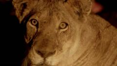 Lioness to Long Grass - Focus Pull Stock Footage