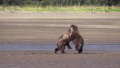 Grizzly cubs learn fighting behavior Stock Footage