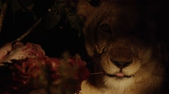 Lion Eating Kill During Night - Close Up - Slow Motion (3) Stock Footage