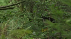 Black stork in forest Stock Footage