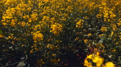 High angle tracking shot over field of flowering canola plants Stock Footage