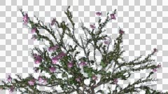 Crape Myrtle Chromakey Crown Isolated Bush Chroma Key Alfa Alfa Channel Flowers Stock Footage