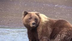 Female Grizzley bear on the beach Stock Footage